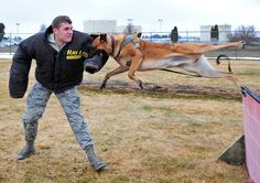 Flying through the air. Fearless Belgian Malinois military working dog, doing training. How'd you these teeth flying at you?