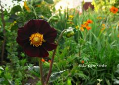 Petra Rosso' Garden. Yellow flower bed. Summer