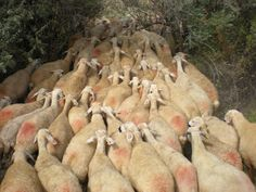 The sheep will follow!