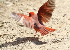 Dancing cardinal at Firestone Metro Park (photo by volunteer Jerry Cannon)