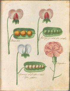 Hortulus monheimensis, Süddeutschland, 1615, Bayrische Staatsbibliothek
