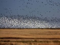 North Dakota: Land of awesome bird migration