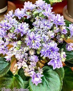 Leafy Plants, Indoor Plants, Flowering Plants, Easy House Plants, Saintpaulia, New Puzzle, Houseplants, Perennials, Planting Flowers