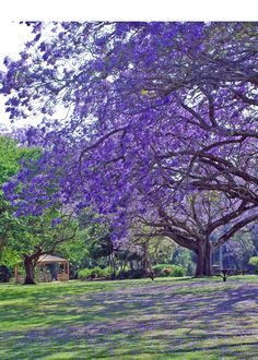 Jaccaranda trees have my heart Purple Trees, Colorful Trees, Purple Flowers, Spring Scenery, Beautiful Flowers, Beautiful Places, Flowering Trees, Fruit Trees, Nature Pictures