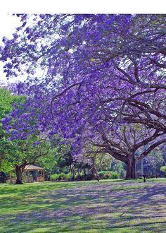 Jaccarandas -un hermoso parque que me encantaria conocer
