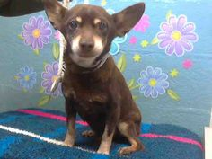 "PLS SHARE/HELP RESCUE ME!!! I'm a male, chocolate & tan Chihuahua - Smooth Coated mix about 10 years old. THIS PRECIOUS LITTLE SENIOR IN DIRE NEED!!! ID# A4641364 For more info about this  ""SENIOR"" BOY PLEASE CALL: Los Angeles County Animal Control - Lancaster at (661) 940-4191 PLEASE SHARE & HELP HIM FIND A LOVING HOME FOR HIS ""GOLDEN YEARS""!!!"