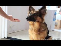 How To Teach Your Dog to Balance a Treat On Their Nose! - YouTube