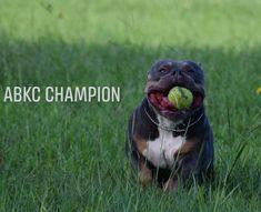 56 Best ABKC Champion