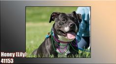 "LILY ""41153"" - URGENT - THE ANIMAL SHELTER SOCIETY INC. in Zanesville, OH - ADOPT OR FOSTER - Adult Spayed Female English Bulldog/Am. Staffordshire Terrier Mix"
