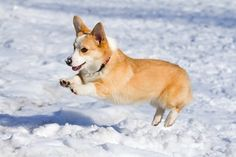 Corgi playing in the snow