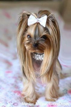"""Learn even more details on """"Yorkshire terrier dog"""". Visit our website. - Learn even more details on """"Yorkshire terrier dog"""". Visit our website. Teacup Yorkie, Yorkie Puppy, Yorkies, Yorky Terrier, Cute Puppies, Cute Dogs, Yorkie Cuts, Yorkie Hairstyles, Top Dog Breeds"""