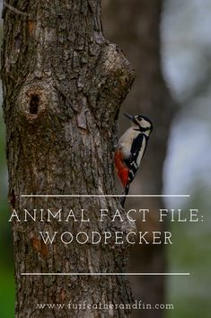 Animal Fact File: Woodpecker Informations About Animal Fact File: Woodpecker Pin You can easily use Animal Fact File, Animal Facts For Kids, Fun Facts About Animals, Like Animals, Animals For Kids, Spotted Woodpecker, Animals Information, Extinct Animals, Wasting Time