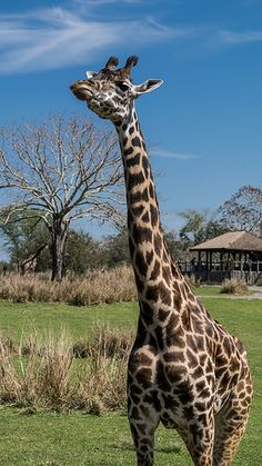 Photo I took while at Walt Disney World Animal Kingdom Safari, I love this photo. Giraffe by jsperdomo, via Flickr #giraffe #animalkingdom #safari #disney #a57 #alpha57 #sony  https://www.flickr.com/people/jsperdomo/