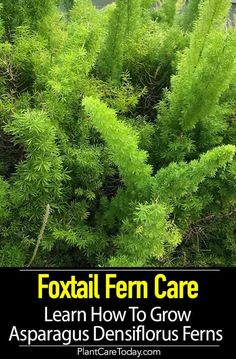 Foxtail Fern (Asparagus densiflorus) herbaceous perennial of the Liliaceae family, fragrant small white flowers, evergreen fern-like foliage, tiny thorns, not recommended for full sun. Growing Flowers, Growing Plants, Planting Flowers, Big Plants, Exotic Plants, Asparagus Plant, Asparagus Fern Care, Evergreen Ferns, Foxtail Fern