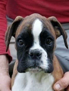 boxer puppies | Does not get any cuter than this via @KaufmannsPuppy