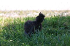 Seidenhühner sind sehr fleißigen und gute Brüter. #Seidenhuhn #Seidenhühner
