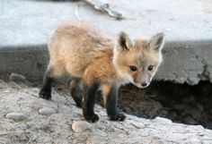 fox kit   - Explore the World with Travel Nerd Nici, one Country at a Time. http://TravelNerdNici.com
