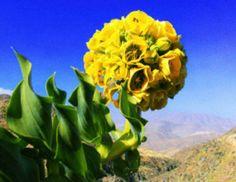 La garra de león  (Leontochii  ovallei) una flor que  rara vez se puede disfrutar ya que florece en el desierto de Atacama, Chile las rarisimas ocasiones  que llega a llover  ¡hermosa!