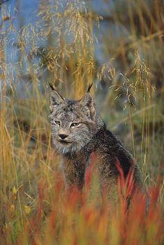 picture of Canadian Lynx Kluane National Park Yukon Territory Image Ocelot, Beautiful Cats, Animals Beautiful, North American Animals, Lynx, Canadian Wildlife, Mundo Animal, Cute Baby Animals, Wildlife Photography
