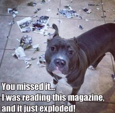 Uplifting So You Want A American Pit Bull Terrier Ideas. Fabulous So You Want A American Pit Bull Terrier Ideas. Funny Animal Memes, Cute Funny Animals, Funny Animal Pictures, Funny Dogs, Cute Dogs, Funny Pitbull, Awesome Dogs, Dog Shaming, Pit Bull Love