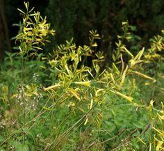 Asphodeline liburnica 5 flower