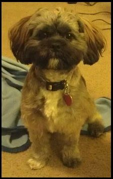 Do you remember what Sachi name was before we got him.....Ewok and he was this color but younger>>>Lhasa apso, my little ewok.