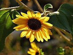 Sonnenblume, Blume, Pflanze, Wüste