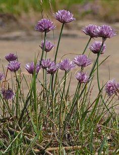 Ruoholaukka, Allium schoenoprasum - Kukkakasvit - LuontoPortti