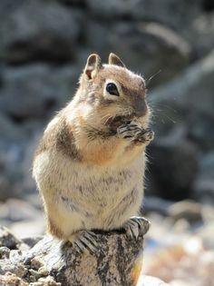 Rocky Mountain National Park Ground Squirrel