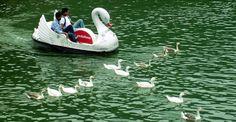 Paddlelo swans and ducks on Nainital lake. Nainital, Swans, Ducks, Bird, Animals, Animales, Animaux, Birds, Animal