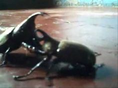 BEETLE FIGHT2. Efron you are genius.