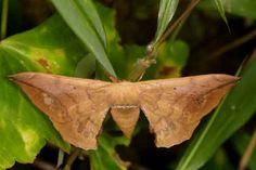 bombycidae-andraca-sp-female-probably-trilochoides.jpg (500×333)