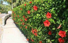 Hibiscus rouge: une plante à fleurs superbe