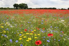 British wildflower meadow, Lincolnshire- just beautiful! British Wild Flowers, Wildwood Flower, Wild Flower Meadow, Meadow Flowers, Flower Landscape, Flower Pictures, The Great Outdoors, Beautiful Flowers, Beautiful Gardens