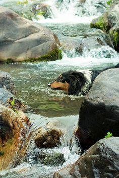 Sheltie Swimming in the Stream