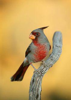 Pyrrhuloxia (Cardinalis sinuatus) Попугайный кардинал