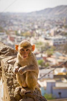 """got some bananas?""  little monkey at temple in Jaipur  (Jaipur, India, 2011)"