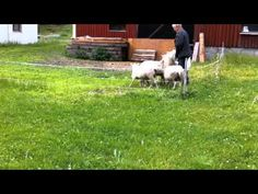 Rabbit hearding sheep...how friggin cute!