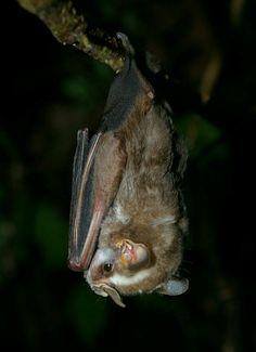 Striped yellow-eared bat