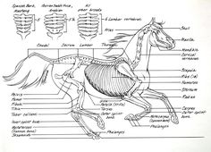 This beautiful drawing as all the important bones of the horse skeleton. horse-anatomy-skeleton.jpg (1200×867)