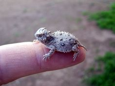 image source The Texas horned lizard (Phrynosoma cornutum) is one of about 14 North American species of spikey-bodied reptilescalled horned lizards. P. cornutum ranges from Colorado and Kansas to northern Mexico (in the Sonoran...