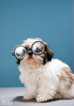 Too Cute: Dogs Wearing Glasses http://www.life.com/gallery/31302/too-cute-dogs-wearing-glasses#index/11