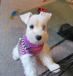 Coco the Toy Schnauzer at 8 mths