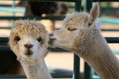 Breeder Story: Read about Alpacas of Anza Valley  in Anza, CA.