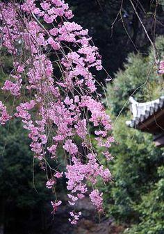本堂わきの枝垂桜