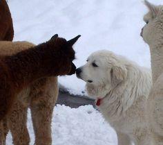 Livestock Guardian Dogs (LGDs) – Please share your stories! - Farmlife