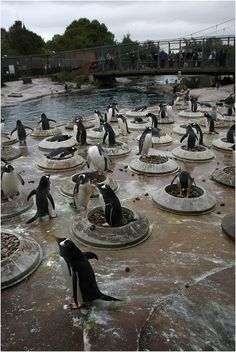 Penguin Colony at the Edinburgh Zoo - I love that they give them stones & places to build nests. Penguins And Polar Bears, Cute Penguins, Animals Beautiful, Cute Animals, Penguin Love, Paws And Claws, All Gods Creatures, Bird Pictures, Animals