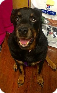 8/30/16 SWEET AND GENTLE MUSH MUSH SEEKS LOVING COMPANIONSHIP , I HAVE A LOT OF LOVE JUST WAITING TO BE YOURSRottweiler Dog for adoption in Oak Ridge, New Jersey - Asia- BIG MUSH!