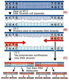 Polymerase Chain Reaction (PCR)   PCR copies DNA, utilizing repeated cycles of three steps and Taq DNA polymerase, a recombinant, thermostable enzyme from the organism Thermus aquaticus.