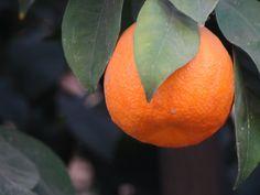 https://flic.kr/p/DhLacw   Pomeranze   Die Bitterorange oder Pomeranze , auch Sevilla-Orange und Saure Orange genannt, ist eine Zitruspflanze. Ihre Frucht ist orangenähnlich, aber bitter und kleiner. Entstanden ist die Bitterorange als Hybride zwischen Pampelmuse (Citrus maxima) und Mandarine (Citrus reticulata),wahrscheinlich im Süden Chinas. Wikipedia